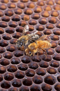 africanized-honey-bees
