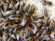 Queen Bee Removal - By Waugsberg - eigene Aufnahme - own photograph, CC BY-SA 3.0,